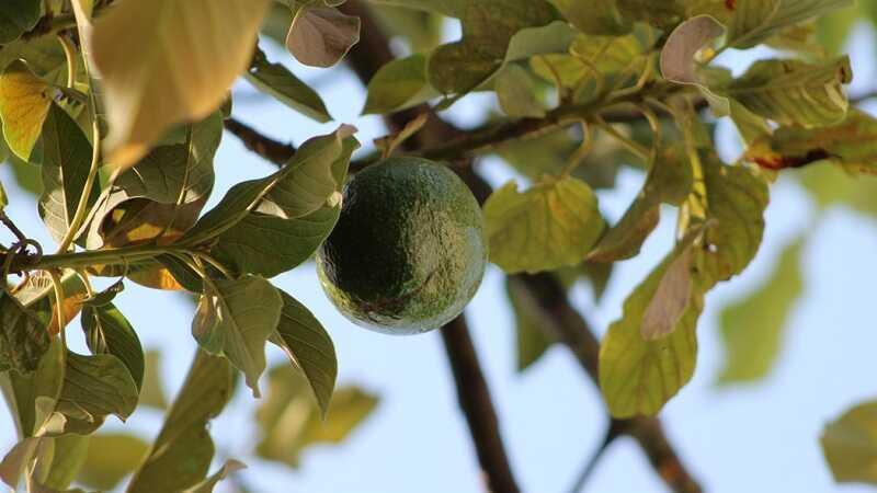 Avokado Bitkisi (Persea amerikan)